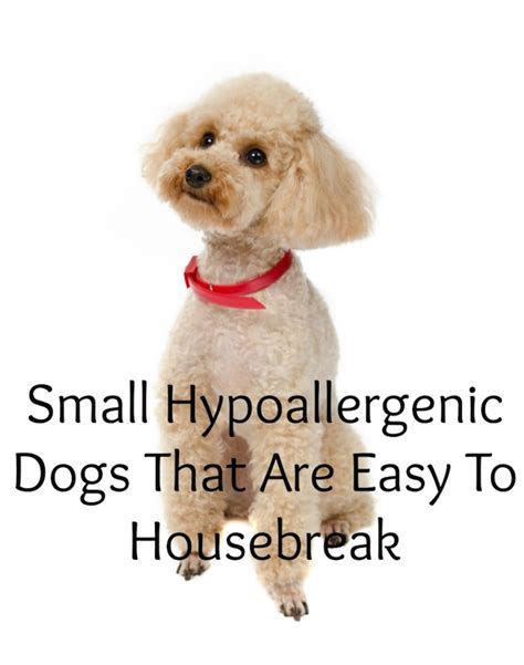small hypoallergenic dogs that are easy to housebreak
