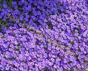 Dauerblüher Sommer Winterhart : blaukissen lila polstertaude absolut winterhart 50 samen ~ Michelbontemps.com Haus und Dekorationen