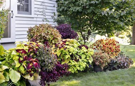colorful coleus  perk   garden corner