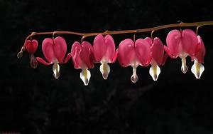 Tränendes Herz Blume : blume pflanzen tr nendes herz ~ Eleganceandgraceweddings.com Haus und Dekorationen