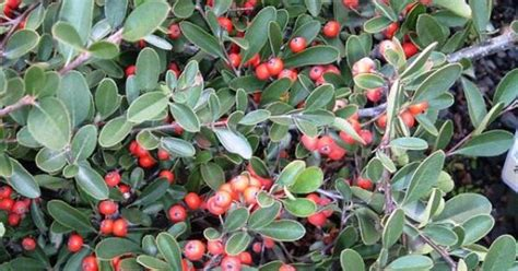 small evergreen shrub with berries red elf pyracantha compact evergreen shrub with small flowers in spring and red berries in