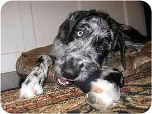Alfey | Adopted Puppy | Hanover, MD | Great Dane/Irish ...