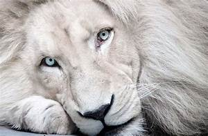 Rainier Lions Club: White Lion with Blue Eyes