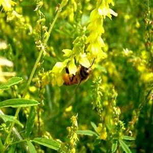 Yellow Sweet Blossom Clover - Most valuable plants for ...