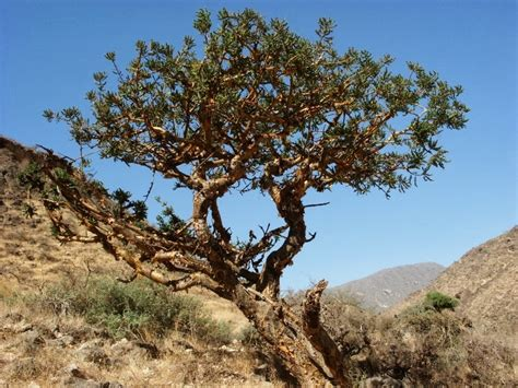boswellia sacra tree liliana usvat reforestation and medicinal use of the trees boswellia sacra frankincense