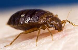 will bugs bite at the london olympics With common bed bugs