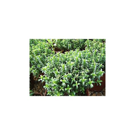 sarriette vivace cuisine sarriette vivace parfumée plante aromatique aromatiques