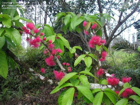 PlantFiles Pictures: Syzygium Species, Malay Apple ...