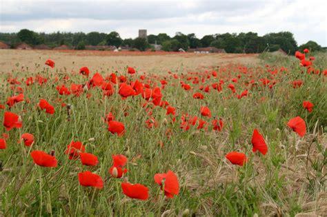 veterans day poppies hgtv