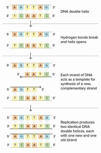 Dna Replication Double Worksheet Helix Structure Molecule