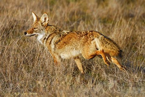 Coyote Fox coyote texas coyote mammalian resident texans texas 1200 x 800 · jpeg