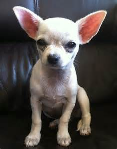 White Teacup Chihuahua Puppies