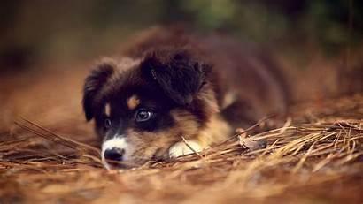 Puppy Wallpapers Shepherd German Dog Happy Mood