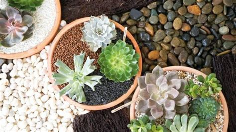 วิธีรักษาต้นกุหลาบหินเน่า (เพราะรดน้ำมากไป)