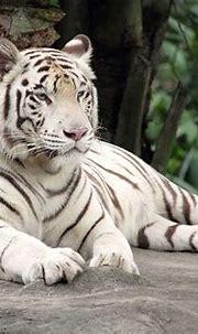 Free photo: Bengal Tiger, White Tiger, Animal - Free Image ...