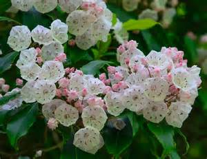 Great Smoky Mountains National Park Laurel Flowers