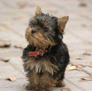 Teacup Yorkie: The Pocket-Sized Yorkshire Terrier