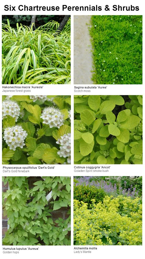 images of shrubs plants six chartreuse perennials and shrubs for your garden thinking outside the boxwood