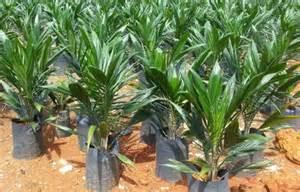 Oil Palm Or Palm Oil Photos
