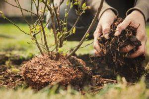 Heidelbeeren Pflanzen Zeitpunkt : feigenbaum schneiden tipps vom experten plantura ~ Orissabook.com Haus und Dekorationen