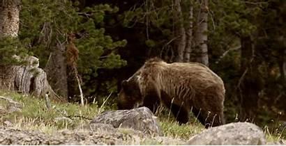 Wild Gifs Ours Beruang Pardos Bear Orsi