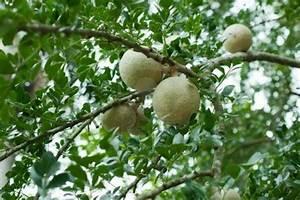 Wood Apple – fruit from Peacock Ayurveda Garden | Ayurveda ...