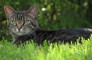 outdoor cat feral cats minneapolis to consider st paul s approach to