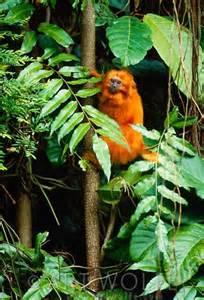 Golden Lion Tamarin Rainforest Being Destroyed
