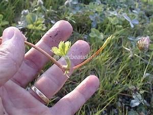 Plant De Fraisier : charmant quand repiquer des fraisiers 3 stolon de ~ Premium-room.com Idées de Décoration