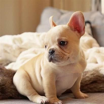 Instagram French Bulldog Profiles Breed Respectfull Copyrighted