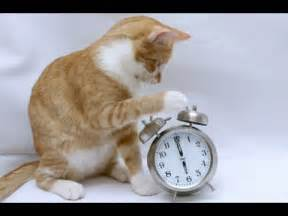 cat alarm clock cat cat alarm clock cat pet