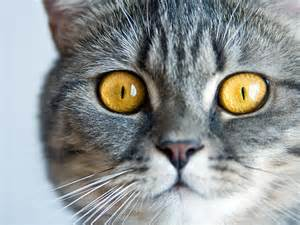 radioactive iodine treatment for cats cost thyroid disease and cats petfinder