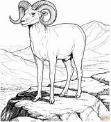 Sheep Coloring Bighorn Mountain Rocky Pages Mountains Printable Animals Clipart Colorado Adult Drawings Supercoloring Colouring Crafts Books Animal Category Detailed sketch template
