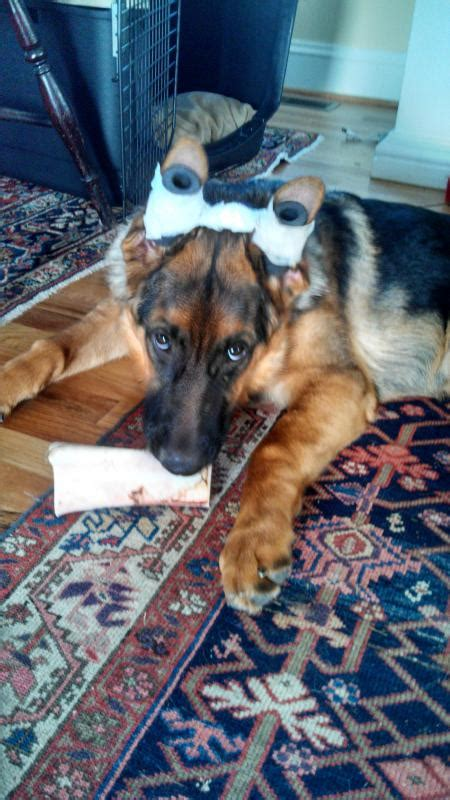 cheap solution  fix broken ears   adult gsds page