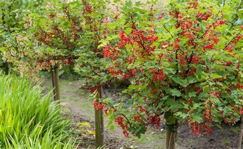 Garten Johannisbeeren Pflanzen by Johannisbeeren Richtig Schneiden Gardening Garden