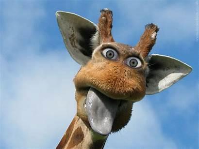 Giraffe Funny Desktop Backgrounds Wallpapers Bing Animal