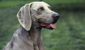 weimaraner breed information