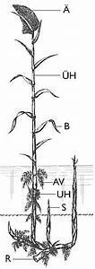 Bau Der Pflanze : aufbau der pflanze ~ Lizthompson.info Haus und Dekorationen