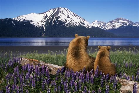 Grizzly Sow & Cub Sit On Log & View Turnagain Arm