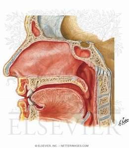 Medial Wall Of Nasal Cavity
