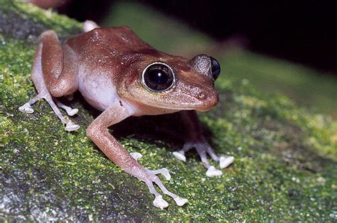 puerto ricos loudest invasive frogs coming  los