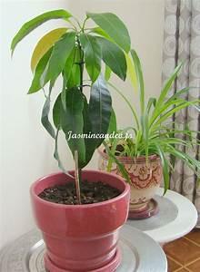 Planter Noyau Mangue : noyau mangue multiplications plantes pinterest ~ Melissatoandfro.com Idées de Décoration