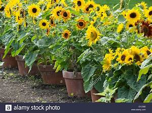 Helianthus annuus. Dwarf sunflowers in plant pots at RHS ...