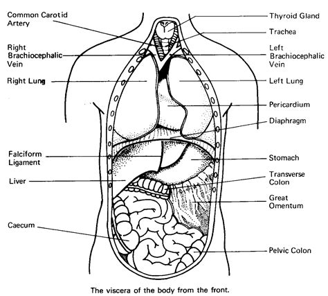 Free Coloring Pages Of Body Organs