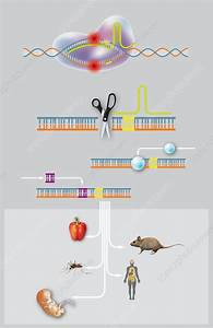Crispr-cas9 Gene Editing  Diagram - Stock Image