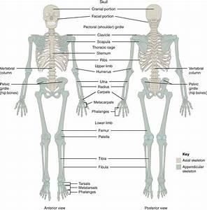 Anatomy  U0026 Physiology  The Pectoral Girdle