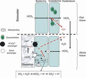 Ph Regulation In Symbiotic Anemones And Corals  A Delicate