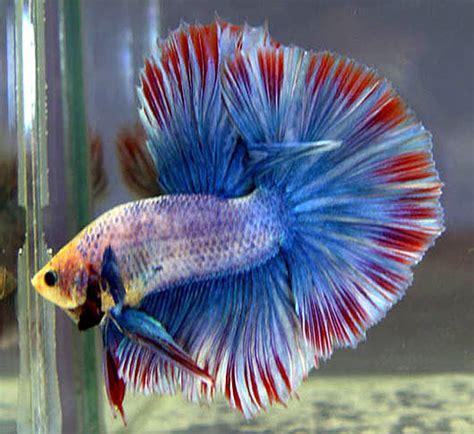 beta fish betta fish care