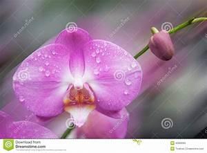 Orchidee Klebrige Tropfen : nahaufnahme einer orchidee mit wassertropfen stockfoto ~ Lizthompson.info Haus und Dekorationen
