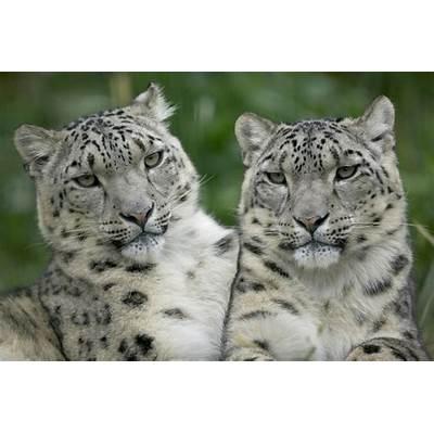 Animals Best Pictures Gallery: Snow Leopard Wallpaper